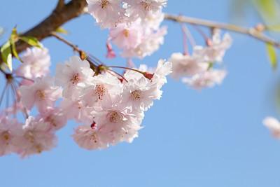 樱桃树,美,复活节,水平画幅,樱桃,无人,户外,白色,母亲节,植物