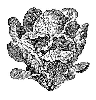 莴苣,绘画插图,沙拉,蔬菜,菜园,农民,垂直画幅,素食,无人,生食