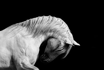 种马,马,白色,安达卢西亚,黑白图片,训马技术,白马,埃斯帕诺拉群岛,动物关节,伊比利亚风格