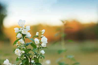 茉莉,复活节,芳香的,水平画幅,无人,夏天,户外,特写,仅一朵花,花蕾