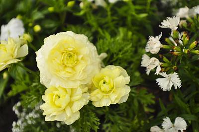 黄色,英国玫瑰,英国花园,玫瑰公园,玫瑰,图像,枝繁叶茂,春天,花头,无人