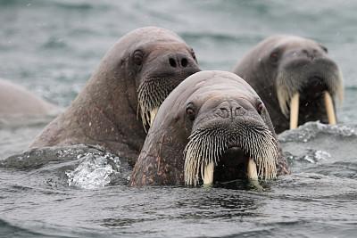 海象,斯瓦尔巴德群岛,挪威,北极,斯瓦尔巴特群岛和扬马延岛,长牙,野生动物,水平画幅,巨大的,动物身体部位