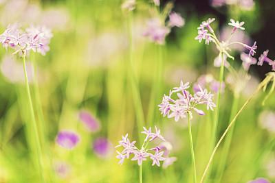 草地,野花,留白,水平画幅,枝繁叶茂,无人,夏天,户外,仅一朵花,柔焦