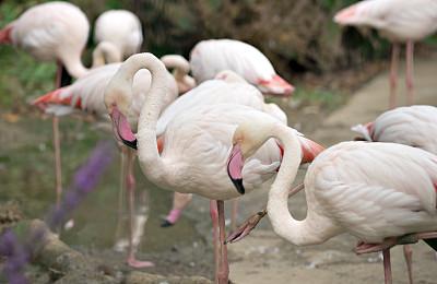 火烈鸟,小火烈鸟,大火烈鸟,颈,动物习性,动物身体部位,野外动物,热带气候,海鸟,动物迁徙