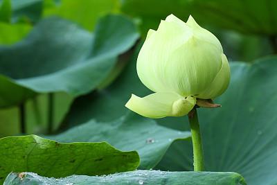 荷花,白色,泰国,自然,图像聚焦技术,选择对焦,水平画幅,睡莲,无人,户外