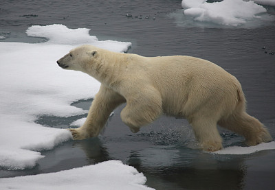 北极熊,斯瓦尔巴德群岛,挪威,北极圈,冰帽,斯瓦尔巴特群岛和扬马延岛,冰川,水平画幅,雪,动物耳朵