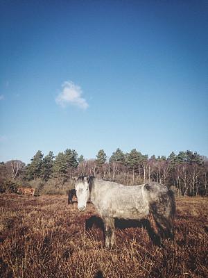 新森林,英格兰,野外动物,马,汉普郡,垂直画幅,天空,美,注视镜头,无人