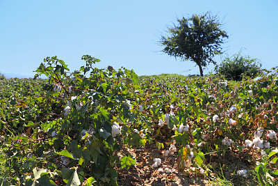 棉花,化妆棉球,选择对焦,水平画幅,无人,棉,前景聚焦,农作物,花蕾,白色