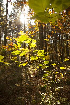 叶子,秋天,垂直画幅,美,褐色,枝繁叶茂,无人,户外,云杉,明亮
