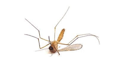 蚊子,死亡的动物,黄热病,疟蚊,疟原虫,伊蚊,登革热,疟疾,水平画幅,无人