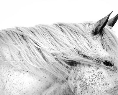 白马,白色,水平画幅,动物耳朵,动物,马,白色背景,动物身体部位,黑白图片,鬃毛