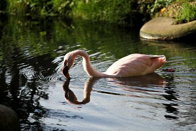 火烈鸟,粉色,水,水平画幅,鸟类,野外动物,户外,喙,动物,河流