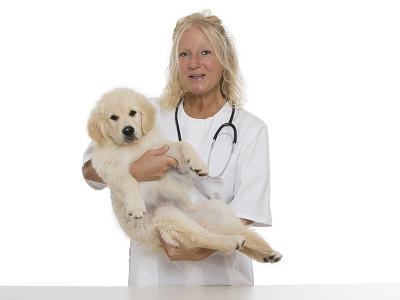 金毛寻回犬,青年人,可爱的,兽医,女性,自然美,半身像,寻回犬,图像