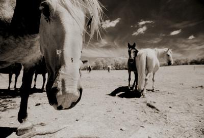 三只动物,马,逃避现实,动物关节,白马,红外摄影,美,颈,水平画幅,智慧