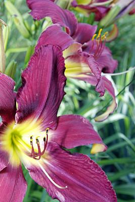 百合花,萱草,垂直画幅,温带的花,无人,户外,植物,彩色图片,多年生植物