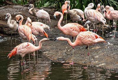 火烈鸟,粉色,自然,水,野生动物,水平画幅,无人,鸟类,野外动物,户外