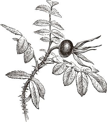 野玫瑰,多刺疏林,绘画插图,水果,雄蕊,秋天,无人,嫩枝,浆果,荆棘