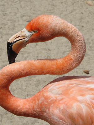 火烈鸟,垂直画幅,颈,橙色,无人,鸟类,动物身体部位,一只动物,喙,翎毛