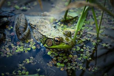 牛蛙,沼泽,霹雳角国家公园,水,野生动物,水平画幅,无人,青蛙,野外动物,户外