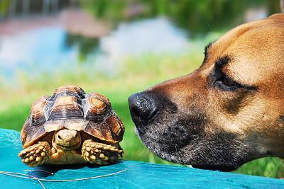 看,狗,海龜,機敏,水平畫幅,兩只動物,哺乳綱,友誼,柔和,小的