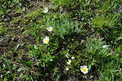 白山野花,水杨梅属植物,水平画幅,无人,夏天,玫瑰,户外,特写,白色,植物