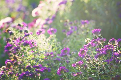 紫苑,光,负冲效果,选择对焦,美,公园,水平画幅,无人,夏天,户外