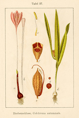 古董,绘画插图,仅一朵花,草地,藏红花,18世纪,自然,垂直画幅,秋天,无人