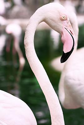 火烈鸟,粉色,美洲火烈鸟,大火烈鸟,颈,垂直画幅,热带鸟,家禽,鸟类,动物身体部位