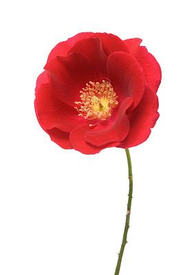 玫瑰,仅一朵花,白色背景,垂直画幅,选择对焦,芳香的,无人,湿,户外,活力