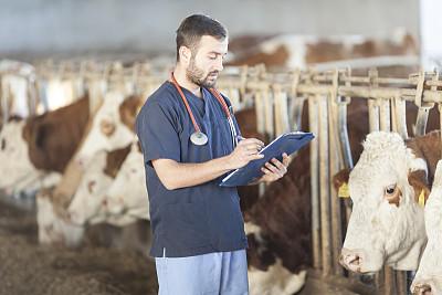 兽医,西门塔尔牛,人工授精,乳牛场,络腮胡子,干草,水平画幅,谷仓