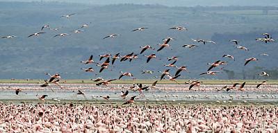 火烈鸟,小火烈鸟,纳库鲁湖,水平画幅,鸟类,野外动物,湖,彩色图片,狩猎动物,自然