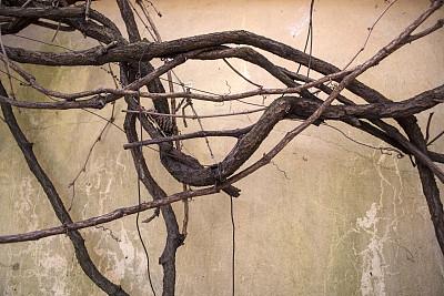 有蔓植物,古老的,围墙,涂料,星和园,式样,水平画幅,墙,秋天,无人