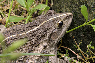 牛蛙,自然,野生动物,水平画幅,彩色图片,无人,青蛙,动物,特写,两栖纲