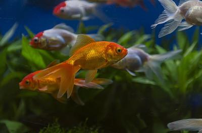 水族館,金魚,平衡折角燈,鯰魚,魚缸,在底端,尾鰭,人工飼養動物,小的,自然美
