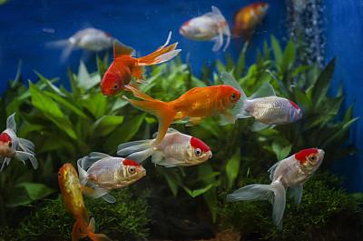 水族館,金魚,平衡折角燈,魚缸,鯰魚,在底端,尾鰭,人工飼養動物,小的,自然美