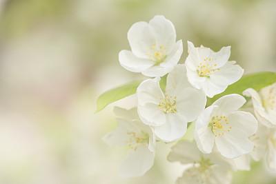 桃花,海棠,桃树,芳香的,水平画幅,无人,东亚,夏天,户外,特写