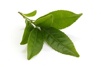 清新,绿色,茶叶,绿茶,茶树,茶,叶子,叶绿素,白色背景,芳香的