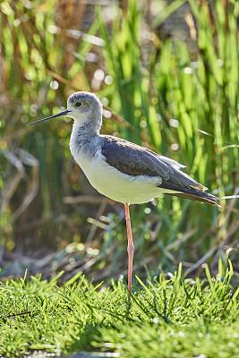 黑翅长脚鹬,��形目,自然,垂直画幅,无人,鸟类,两只动物,野外动物,户外,池塘