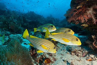 鸡仔鱼,印度尼西亚,邦主,自然美,四重奏,巴布亚新几内亚,四王岛,indopacific ocean,软珊瑚,在底端