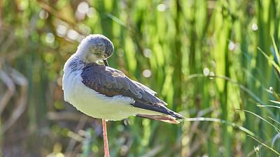 黑翅长脚鹬,��形目,自然,水平画幅,无人,鸟类,两只动物,野外动物,户外,池塘