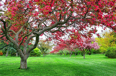 花朵,野苹果树,海棠,苹果花,自然,公园,水平画幅,樱花,无人,樱桃树