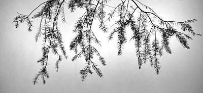 复叶,自然,部分,水平画幅,无人,全景,黑白图片,背景,树,摄影