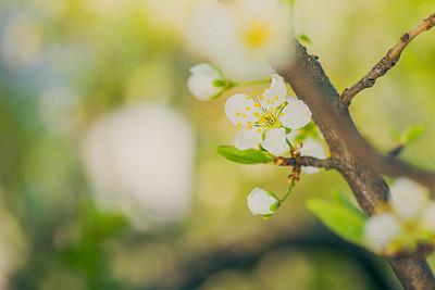 樱桃,自然,留白,水平画幅,樱花,无人,户外,特写,春天,植物