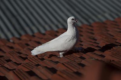 白色,鸽子,瓦,屋顶,水平画幅,无人,动物,鸟类,图像,摄影