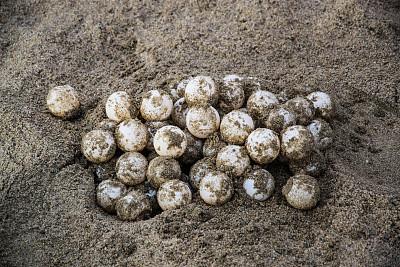 海洋,海龜蛋,希瓦它內荷,伊斯塔帕,格雷羅,卵,海龜,雞蛋,抱著樹,自然