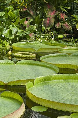 维多利亚荷花,绿色,叶子,过大的,莫氏地毯海葵,海葵,莲藕,自然,垂直画幅,水