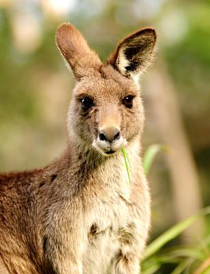 袋鼠,幼兽,小袋鼠,垂直画幅,选择对焦,新南威尔士,注视镜头,枝繁叶茂,侧面像,动物耳朵