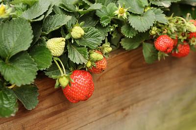草莓,红色,白色,植物,水平画幅,水果,无人,图像,中等数量物体,摄影