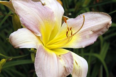 百合花,萱草,温带的花,水平画幅,无人,户外,植物,彩色图片,多年生植物
