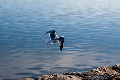 海鸥,水平画幅,岩石,鸟类,户外,一只动物,海洋,河岸,池塘,彩色图片